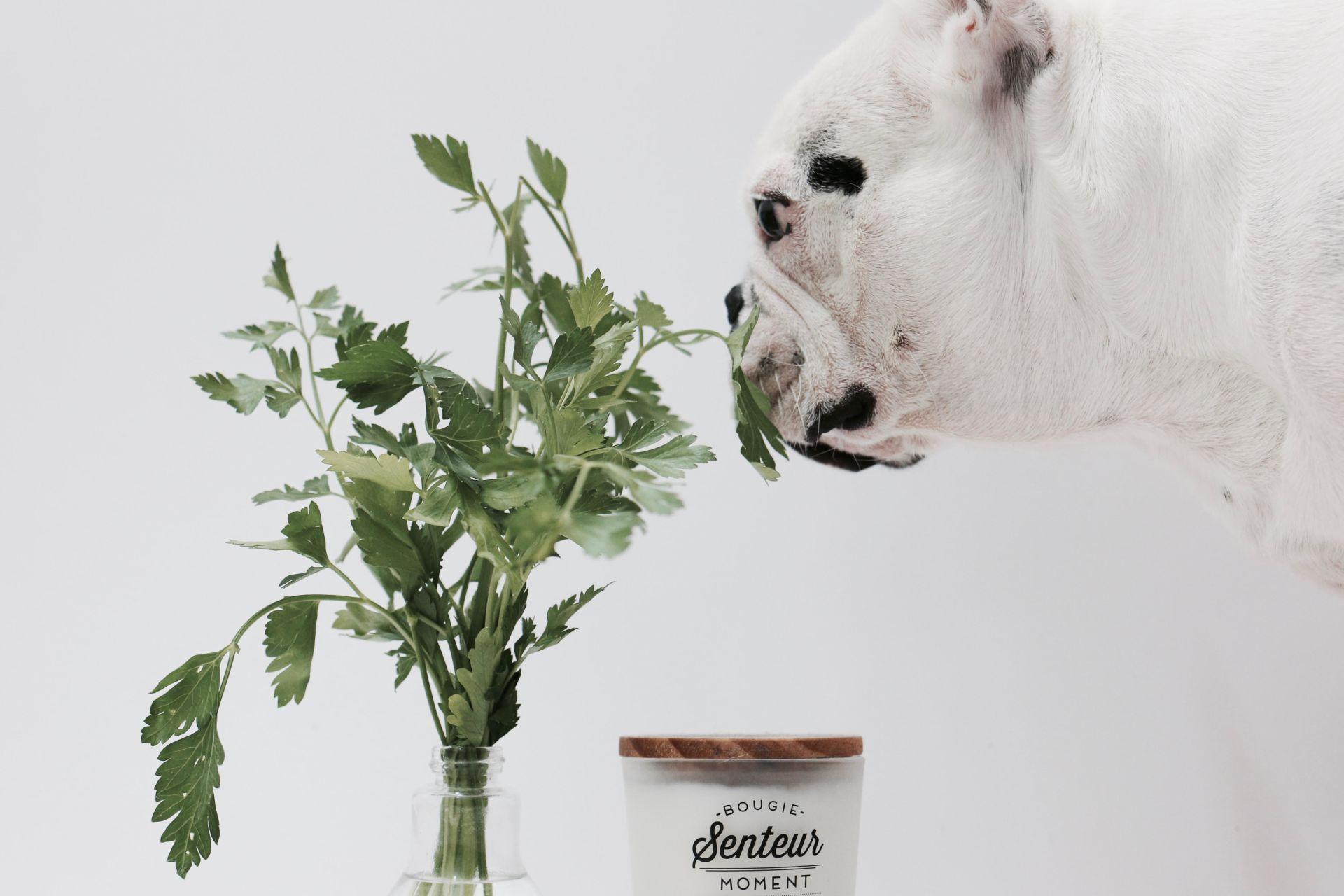 le persil pour lutter contre la mauvaise haleine chez le chien