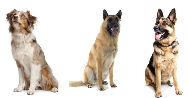 palmares 2017 des races de chiens pré