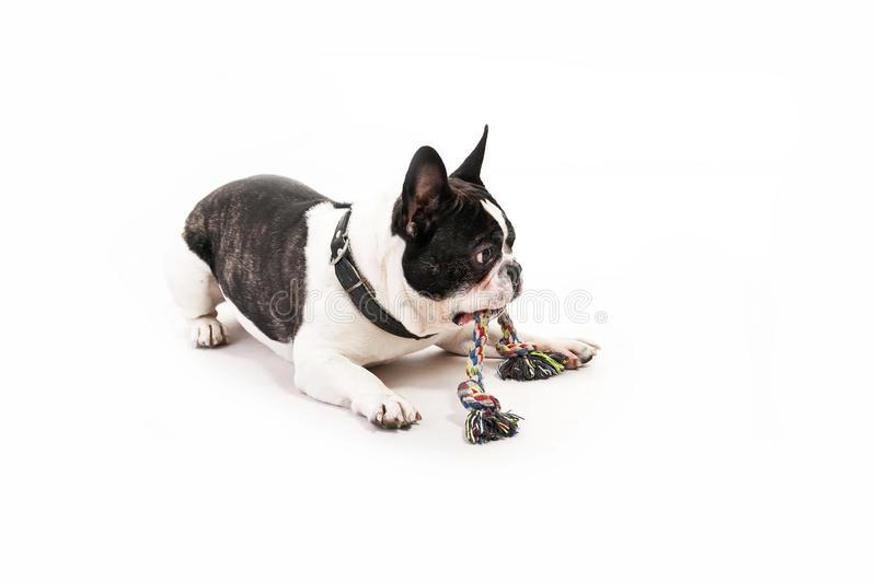 chien-avec-son-jouet-30339115