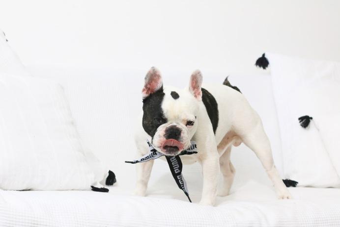 Les chiens sont capables de mentir aux humains pour obtenir ce qu'ils veulent